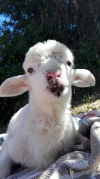 handsome lamb